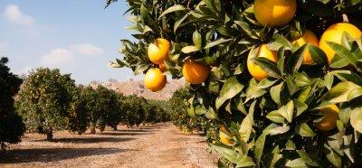 citrus - tree